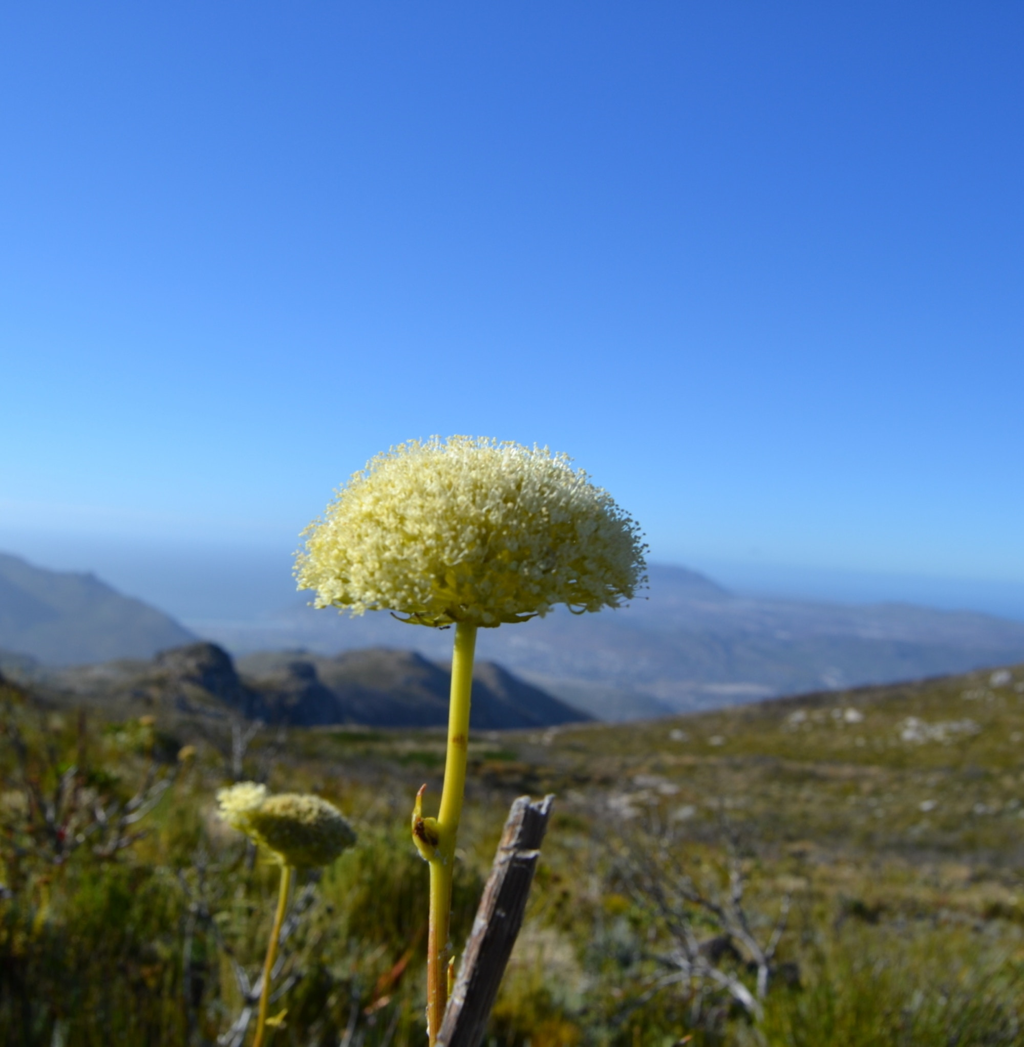 A beautiful flower at Silvermine Nature Reserve