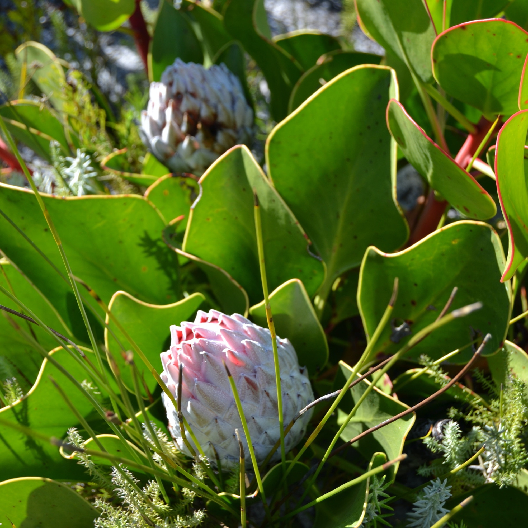 Pink Protea at Silvermine Nature Reserve Cape Town