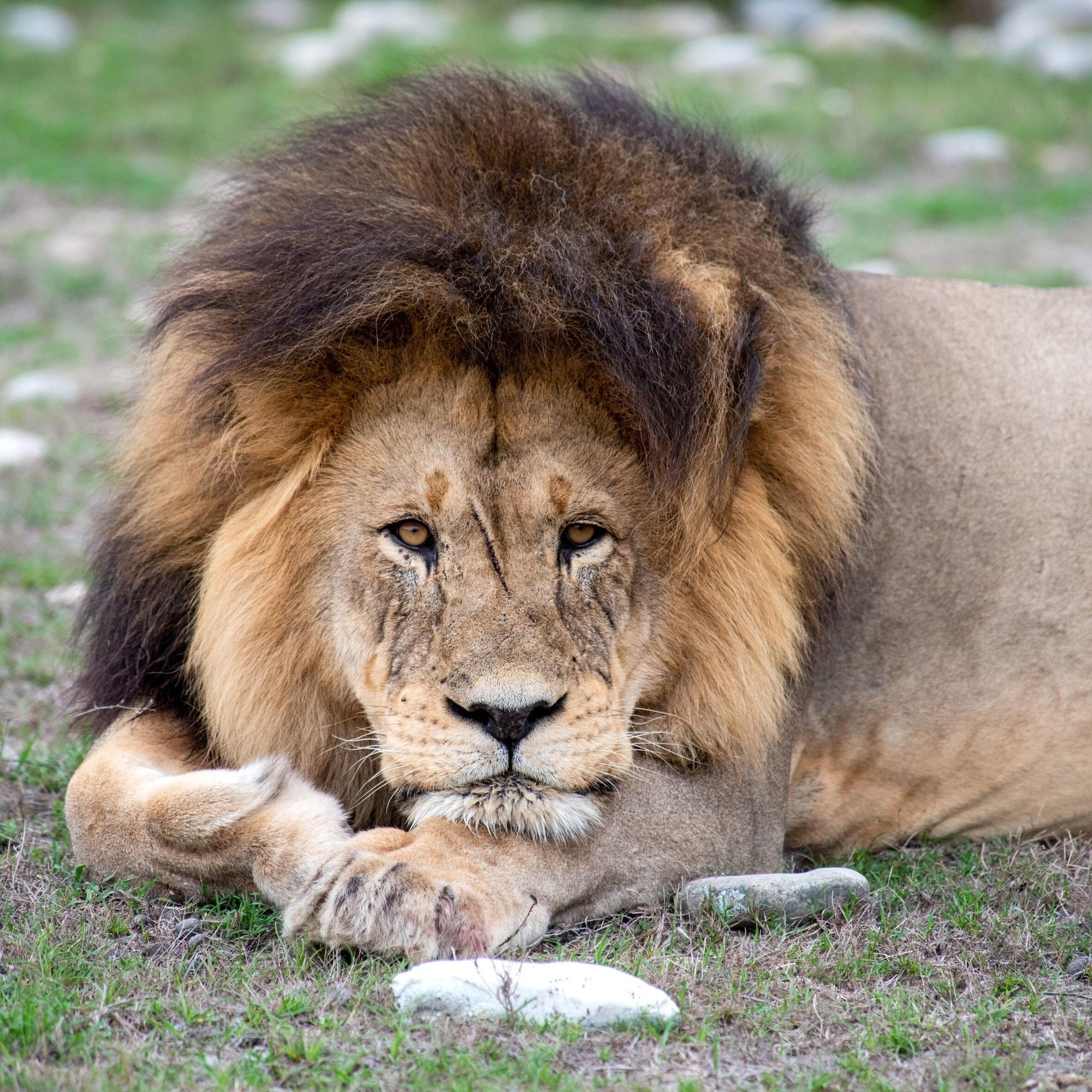Gondwana Lions 1